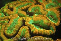 120089-200-black-light-fluorescent-hard-coral.jpg