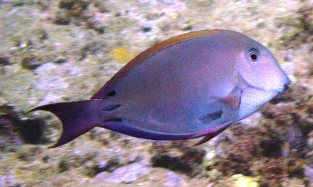 12_Brown_Surgeonfish_Sunset_Beach_Oahu_reg.jpg