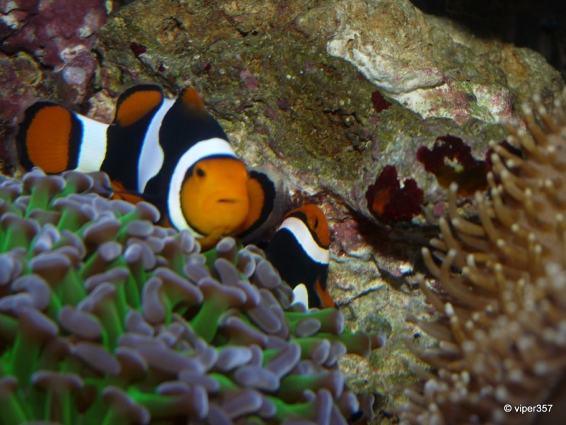 Breeding my black onyx true percula clownfish marine for Black fish eggs