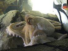 220px-Oktopus-Orakel_Paul_mit_Schuh.jpg