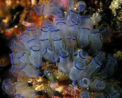240px-Bluebell_tunicates_Nick_Hobgood.jpg