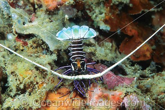 24M0455-20-painted-crayfish.jpg