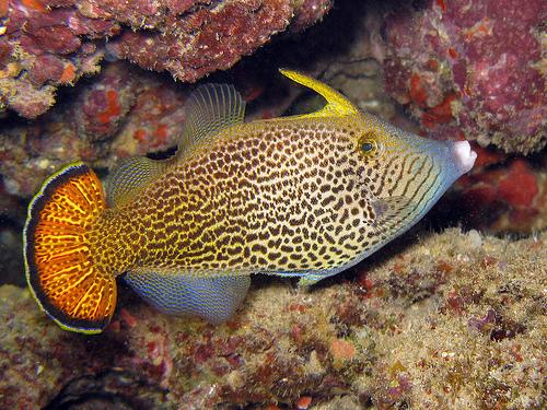 Fantail filefish pervagor spilosoma marine aquariums for Aiptasia eating fish
