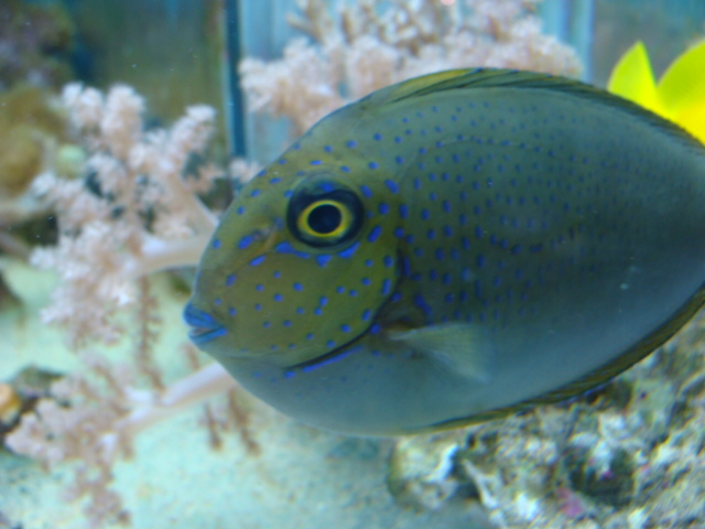 Zebrasoma Gemmatum Vlamingi Tang | Marine...