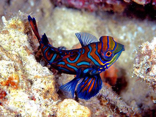 6c0d2e2157-mandarinfish-ket-127-.jpg