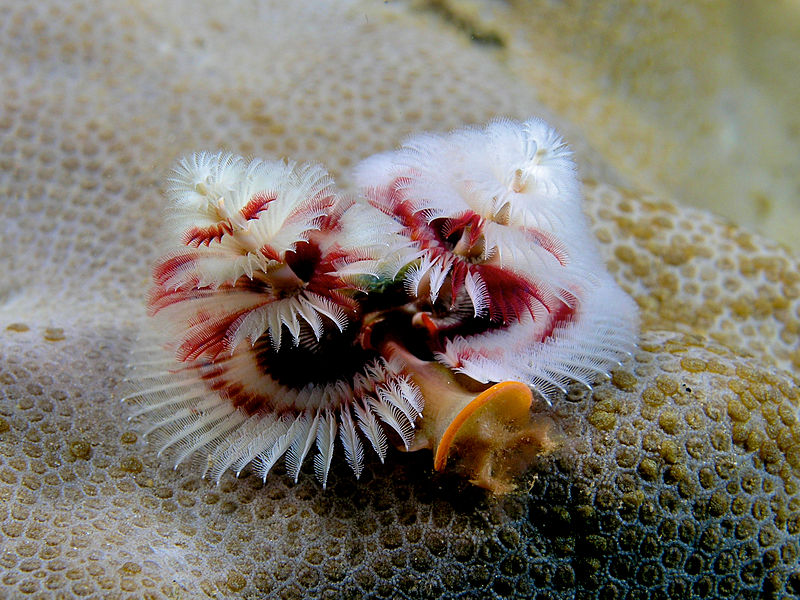 800px-Spirobranchus_giganteus_%28Red_and_white_christmas_tree_worm%29.jpg