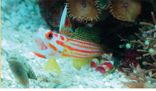 a-symbiotic-goby-shrimp.jpg