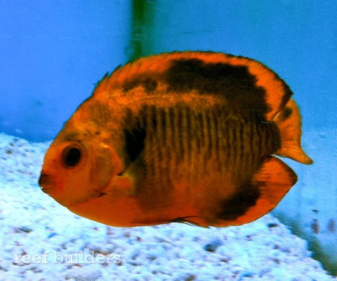 aberrant-coral-beauty-angelfish-2.jpg