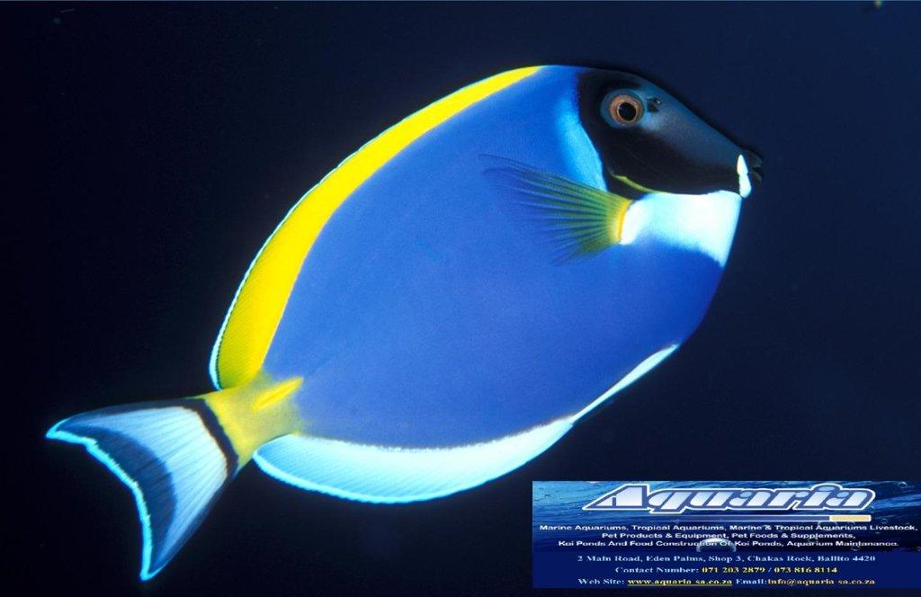 Acanthurus-leucosternon-Powder-Blue-Surgeonfish1.jpg