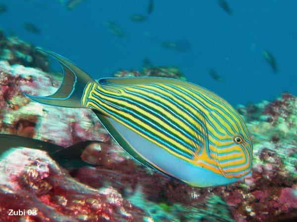 Acanthurus-lineatus.jpg