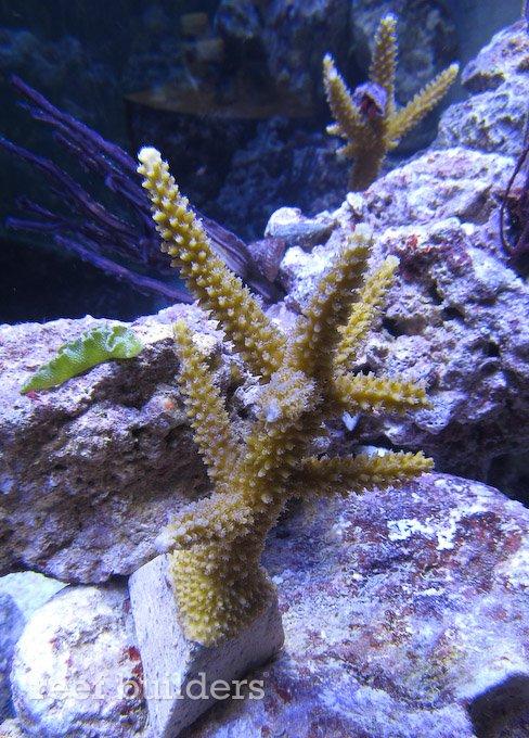 acropora-cervicornis-3.jpg