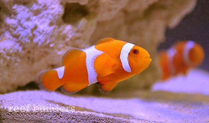 albiino-clownfish.jpg