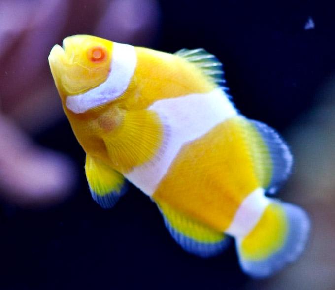 albino-clownfish-1.jpg