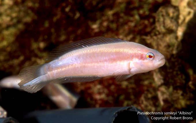 albino-dottyback-sankeyi.jpg
