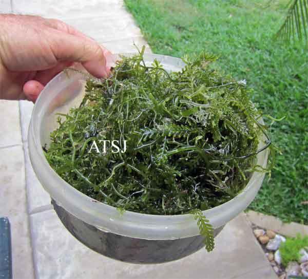 algae-after-trim-.jpg