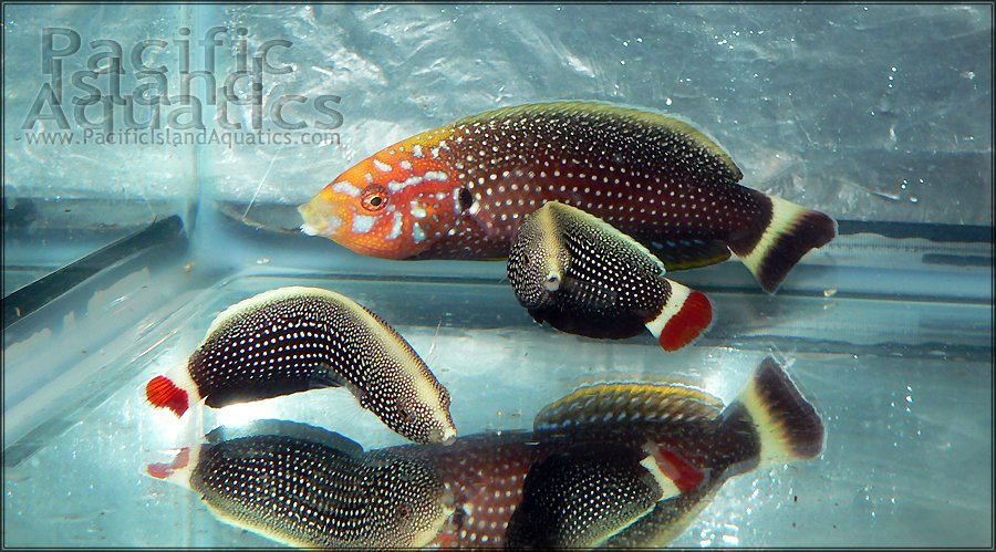 Anampses-chrysocephalus.jpg