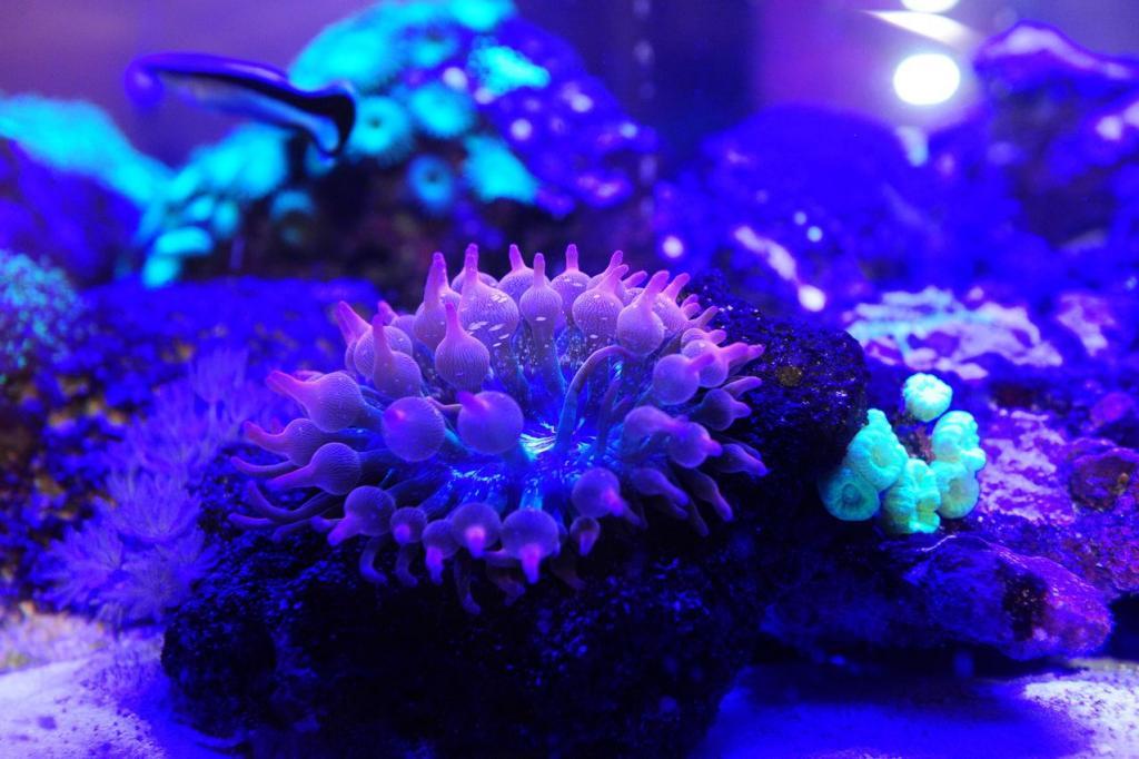 anemoney under royal blue.jpg