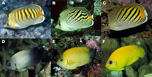 angelfish-butterflyfish-species.jpg