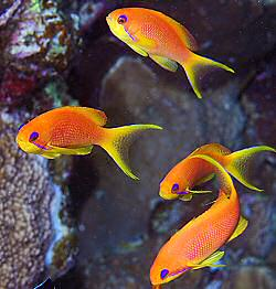 anthias_cs_trop.jpg