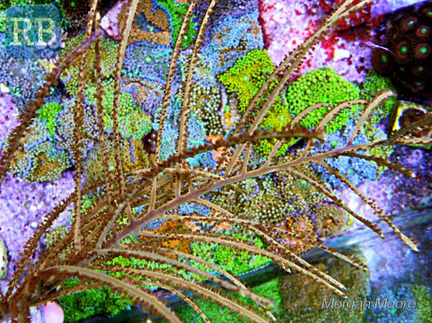 Antillogorgia-golden-plums-1.jpg