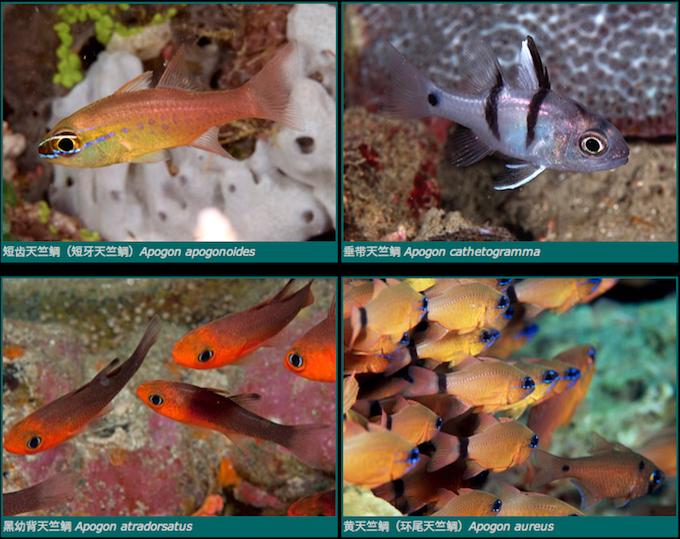apogon-cardinalfish.png