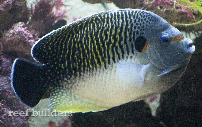 apolemichthys-kingi-angelfish.jpg