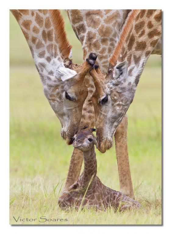 Baby_Giraffe_01.jpg