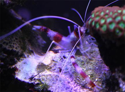 Banded Coral Shrimp small.jpg