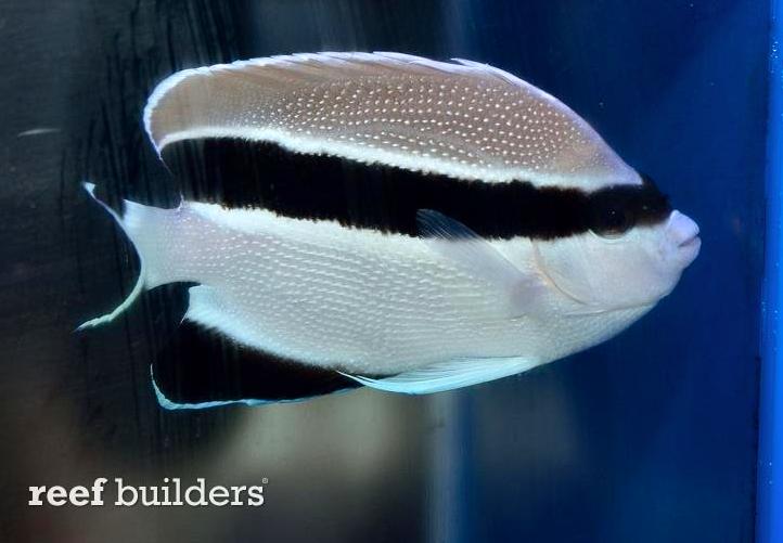 bandit-angelfish.png