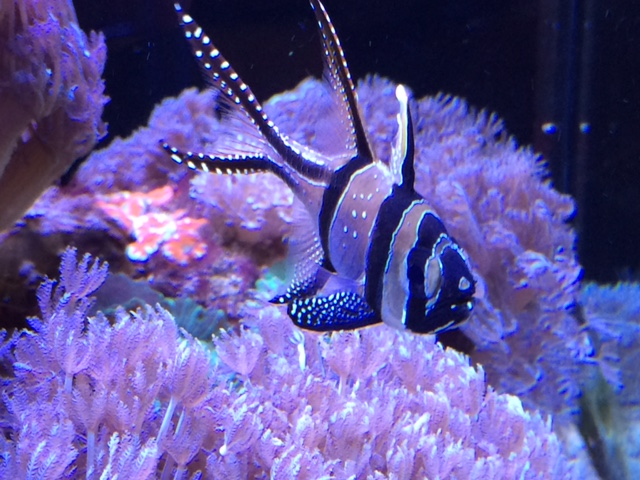 banggai cardinalfish.JPG