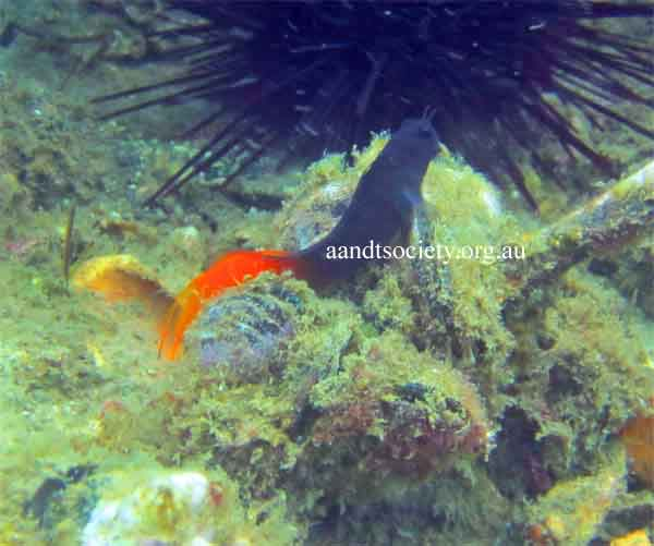 bi-coloured-blenny-.jpg