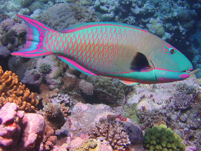 Bicolor_parrotfish.JPG