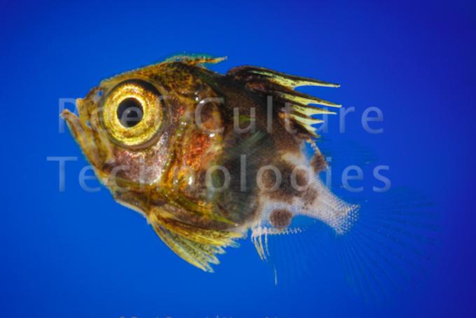 bigeye-larva.png