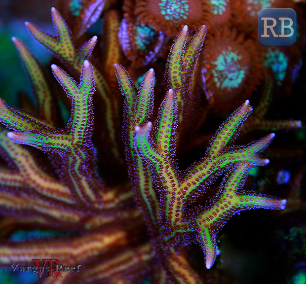 Birdsnest-Coral-WM.jpg