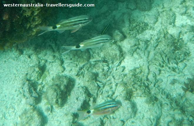black-spot-goatfish-rottnest.jpg