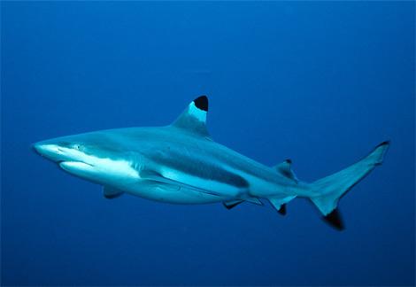 blacktip-reef-shark-swimming.jpg