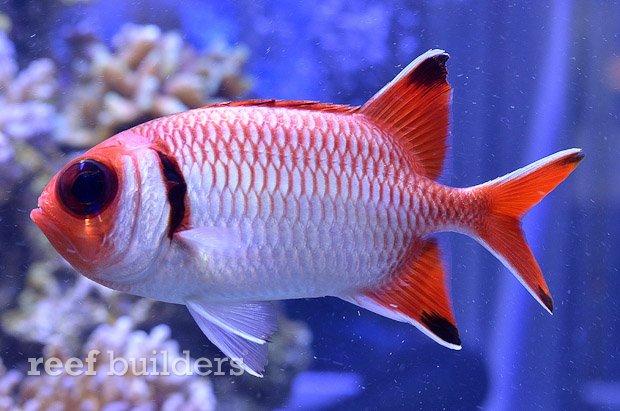blacktip-soldierfish-2.jpg