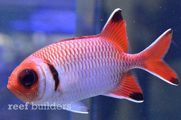 blacktip-soldierfish-3.jpg