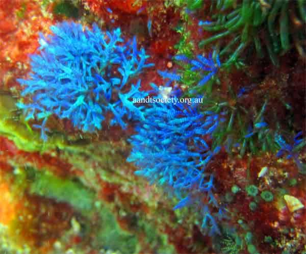 blue-algae-.jpg