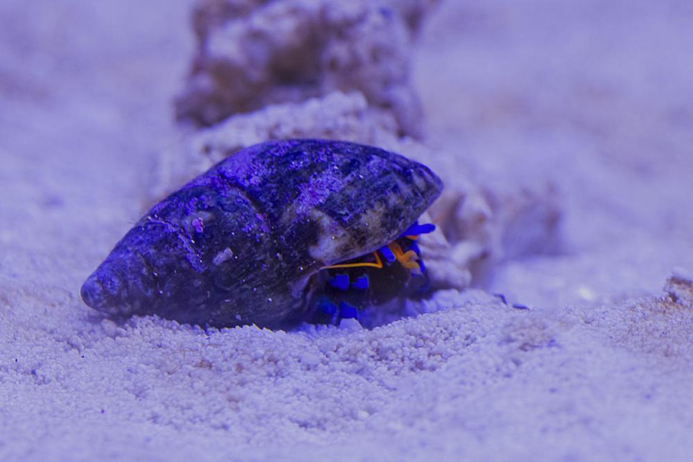 Blue Hermit 01.jpg