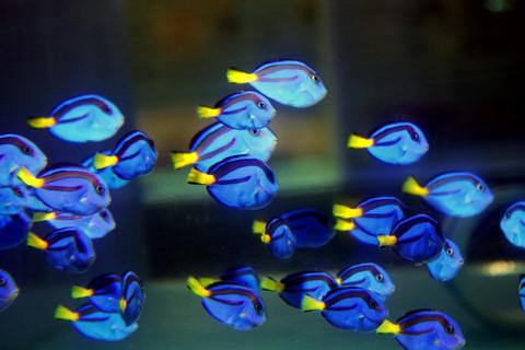 blue-hippo-tang-dory.jpg