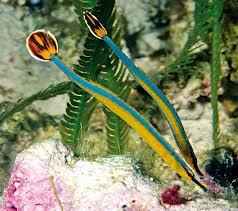 blue stripped pipefish.jpg