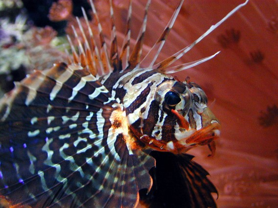 Bluefin_Lionfish1.jpg