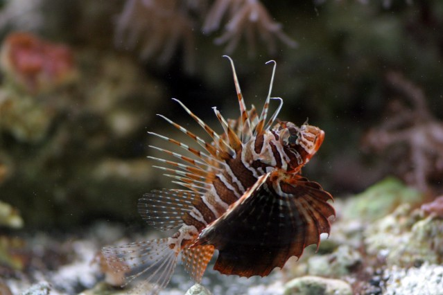 Bluefin_Lionfish3.jpg