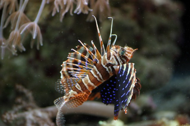 Bluefin_Lionfish4.jpg