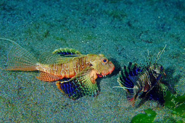 Bluefin_Lionfish5.jpg