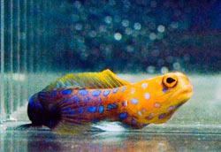 bluespotjawfish49349.jpg