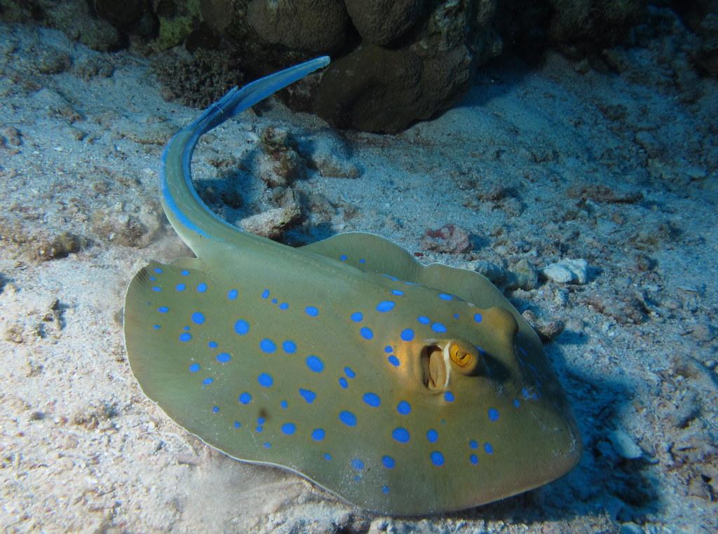 Bluespotted_Ribbontail_Ray,_Taeniura_lymma_at_Abu_Dabab_Reefs,_Red_Sea,_Egypt_SCUBA.jpg