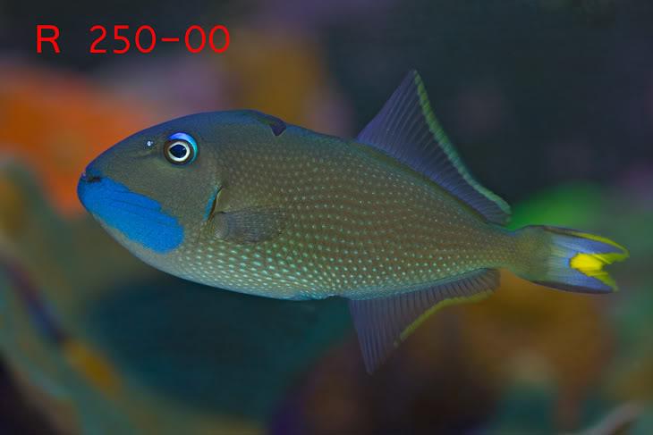 BlueThroatTriggerfish.jpg