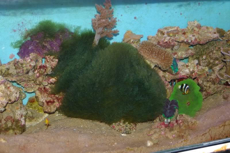 bryopsisalgae.jpg
